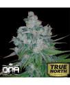 Kandy Kush x Skunk Regular Seeds (DNA Genetics)