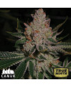 Do-si-dos Feminized Seeds (Canuk Seeds) - ELITE STRAIN