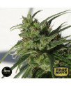 Ethiopian REGULAR Seeds (Ace Seeds)