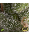 AUTO Fresh Candy FEMINIZED Seeds (Pyramid Seeds)