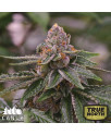 Gelato Feminized Seeds (Canuk Seeds) - ELITE STRAIN