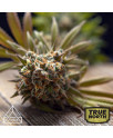 Gelato Feminized Seeds (Prism Seeds)