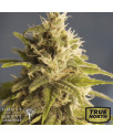 GG#1 REGULAR Seeds (House of The Great Gardener)