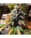 Gorilla Glue #4 Auto Feminized Seeds (BlimBurn Seeds)