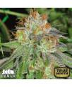 Grandaddy Bruce Feminized Seeds (Canuk Seeds) - ELITE STRAIN