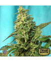 Green Poison FAST Version Feminized Seeds (Sweet Seeds)