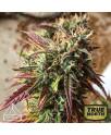 GSC x Jack Herer Feminized Seeds (Prism Seeds)