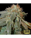 Haoma REGULAR Seeds (House of The Great Gardener)