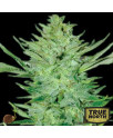 Headlights Kush AUTO REGULAR Seeds (Emerald Triangle)