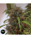 Honduras REGULAR Seeds (Ace Seeds)