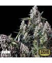 King TUT Feminized Seeds (Canuk Seeds) - ELITE STRAIN