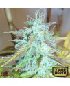 Lemon Haze AUTO REGULAR Seeds (Emerald Triangle)