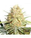 Lemon Zkittle Feminized Seeds (Dutch Passion)