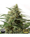 Moby Dick XXL Autoflowering Feminized Seeds (Dinafem)