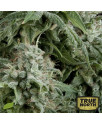 AUTO Northern Lights FEMINIZED Seeds (Pyramid Seeds)