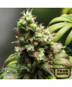 Orange Hill Special Feminized Seeds (Dutch Passion)