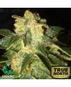 Pakistan Ryder Autoflowering Feminized Seeds (World of Seeds)