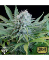 Peach Puree CBD FEMINIZED Seeds (G13 Labs)