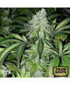 Pineapple Express FEMINIZED Seeds (G13 Labs)