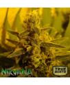 P.P.P. (Pure Power Plant) REGULAR Seeds (Nirvana Seeds)