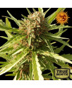 Red Cherry Berry Feminized Seeds (Barney's Farm) *Until Supply Lasts*