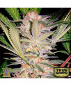 S.A.D. FAST Version Feminized Seeds (Sweet Seeds)