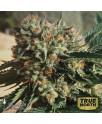 Sapphire OG Feminized Seeds (Humboldt Seed Org)