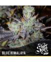 Blue Himalaya AUTOFLOWERING REGULAR Seeds (Shortstuff Seeds)