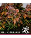 Himalaya Blue Diesel AUTOFLOWERING REGULAR Seeds (Shortstuff Seeds)