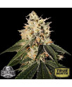 Sour Juice REGULAR Seeds (Crockett Family Farms)