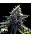 Sour Kosher FEMINIZED Seeds (DNA Genetics)