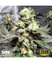 Strawberry Sunset Regular Seeds (Canuk Seeds)