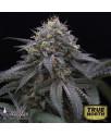 Sugar Breath Feminized Seeds (Humboldt Seed Org)
