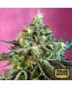 Sweet Nurse Auto CBD Feminized Seeds (Sweet Seeds)