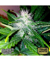Sweety Automatic Feminized Seeds (BlimBurn Seeds)
