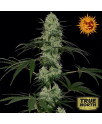 Tangerine Dream Auto Feminized Seeds (Barney's Farm)