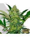AUTO Ultra Lemon Haze FEMINIZED Seeds (Auto Seeds)