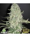 White Widow x Big Bud Feminized Seeds (Female Seeds)