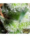 Zamaldelica Feminized Seeds (Ace Seeds)