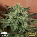 Lemon Skunk Auto Feminized Seeds (Canuk Seeds)