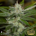 Chemdawg Feminized Seeds (Humboldt Seed Org)