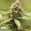 Durban Poison Feminized Seeds (Canuk Seeds) - ELITE STRAIN