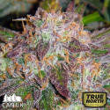 Northern Lights X Big Bud AUTO FEMINIZED Seeds (Canuk Seeds)