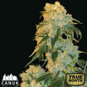 Northern Lights Feminized Seeds (Canuk Seeds)