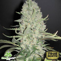White Widow x Big Bud Feminized Seeds (Female Seeds)