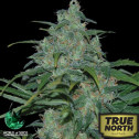 Wild Thailand Feminized Seeds (World of Seeds)