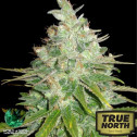 Afghan Kush x Black Domina Feminized Seeds (World of Seeds)