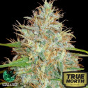Afghan Kush x Skunk Feminized Seeds (World of Seeds)