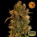 8 Ball Kush Feminized Seeds (Barney's Farm)