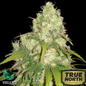 Afghan Kush x Yumbolt Feminized Seeds (World of Seeds)